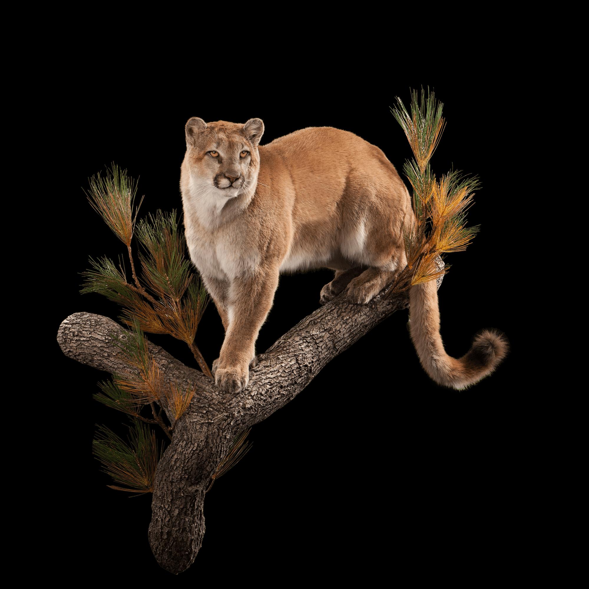 Mountain Lion ML101 : Our Work | Kanati Studio